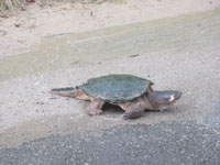 Giant turtle crossing the road on the strech between Visitor Centre and bridge on July 5 2013